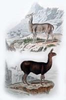 Vicuna and Llama Fine Art Print
