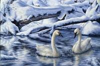 Tundra Swans Fine Art Print