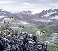 Dall Sheep At Denali Fine Art Print