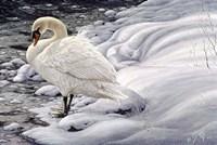 Edge Of Light - Mute Swan Fine Art Print