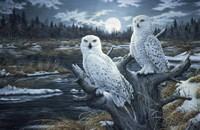 Snowy Owls Framed Print