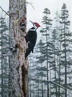 Piliated Woodpeckers Fine Art Print