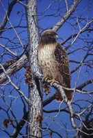 Red Tailed Hawk Fine Art Print