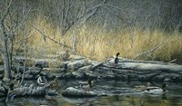 Early Morning Mallards Fine Art Print