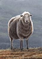 Herdwick Sheep Fine Art Print