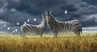Coming Of Rain Zebra Fine Art Print