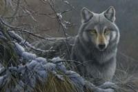 Grey Wolf Fine Art Print