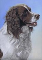 Springer Spaniel Brodie Fine Art Print