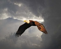 Above The Storm Bald Eagle Fine Art Print