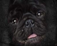 Black Pug Portrait Fine Art Print