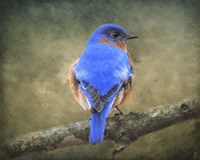 Bluebird Portrait Fine Art Print