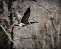 Canadian Goose In Flight 3 Framed Print