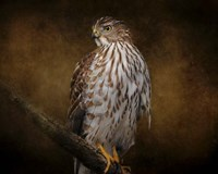 Coopers Hawk Portrait 1 Fine Art Print
