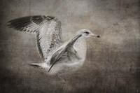 Dance Of The Lone Gull Fine Art Print