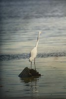 Great White Egret At Sunrise Fine Art Print
