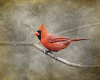 His Red Glory Cardinal Fine Art Print