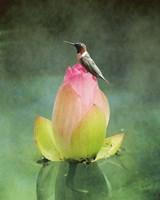 Hummingbird And The Lotus Flower Framed Print