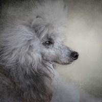 Longing Silver Standard Poodle Fine Art Print