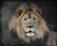 Male Lion Portrait 1 Fine Art Print