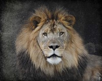Male Lion Portrait 1 Framed Print