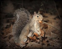 More Than You Can Chew Squirrel Fine Art Print