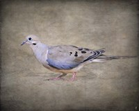 Mourning Dove Portrait Fine Art Print