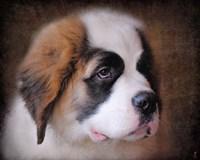 Saint Bernard Puppy Portrait Framed Print
