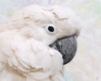 Umbrella Cockatoo Portrait Fine Art Print