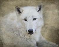 White Wolf Portrait Fine Art Print