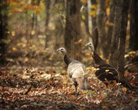 Wild Turkey In The Woods Fine Art Print