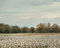 Cotton Field In Autumn Fine Art Print