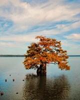 Cypress In Autumn 2 Fine Art Print