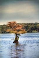 Lonely Little Cypress Tree Fine Art Print