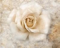 Vintage Rose 5 Framed Print