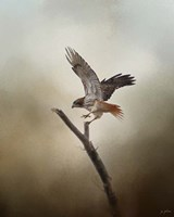 Dance Of The Redtail Fine Art Print