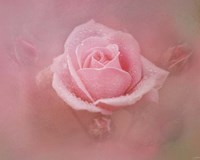 Pink Rose After The Storm Fine Art Print