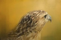 Red Tailed Hawk At Sunset Fine Art Print