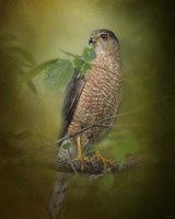 Sharp Shinned Hawk Fine Art Print