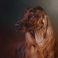 Catching The Breeze Irish Setter Fine Art Print