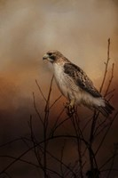 Red Tail In Wait Fine Art Print