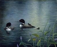 Virginias Loons Fine Art Print