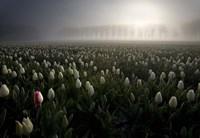 Tulip field Fine Art Print