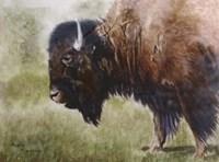 Buffalo Fine Art Print
