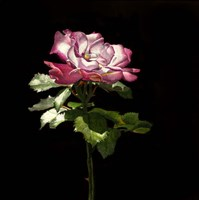 Evening Rose Fine Art Print
