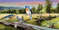 Bluebird Meadow Fine Art Print