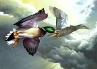 Mallards In Flight Fine Art Print