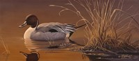 Amber Light - Pintail Fine Art Print