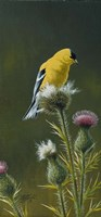 Goldfinch On Thistle Fine Art Print