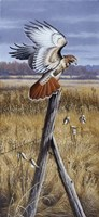 The Corner Post - Red Tailed Hawk Fine Art Print