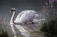 Summer Idyll - Mute Swan Fine Art Print